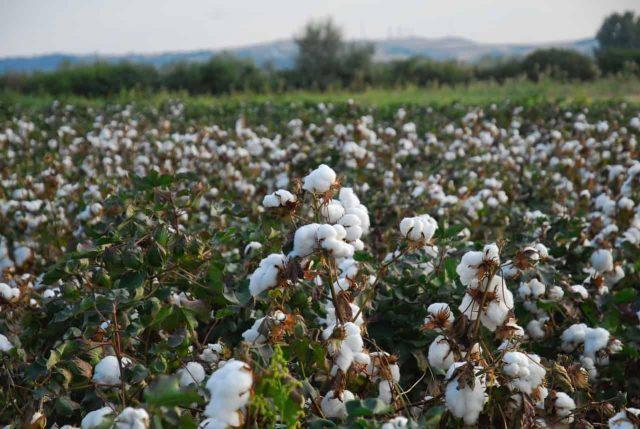 Ενημέρωση για τους βαμβακοκαλλιεργητές της Π.Ε. Τρικάλων